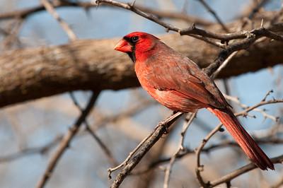 0901_Cardinals_006