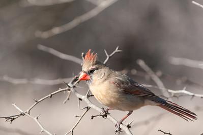 0901_Cardinals_007