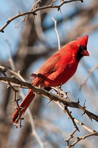 0901_Cardinals_014
