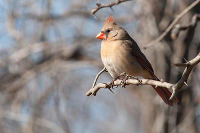 0901_Cardinals_001