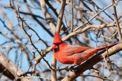 0901_Cardinals_028