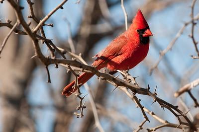0901_Cardinals_013