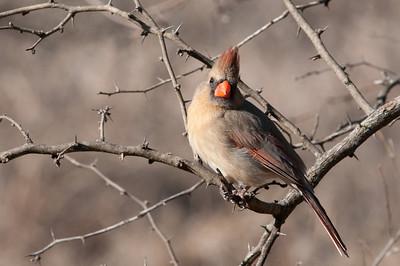 0901_Cardinals_022