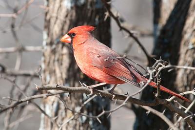 0901_Cardinals_004