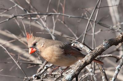 0901_Cardinals_020