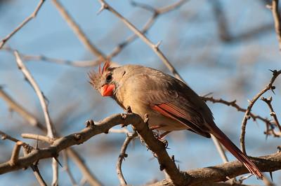 0901_Cardinals_023