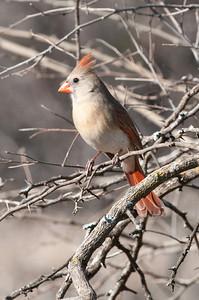0901_Cardinals_030