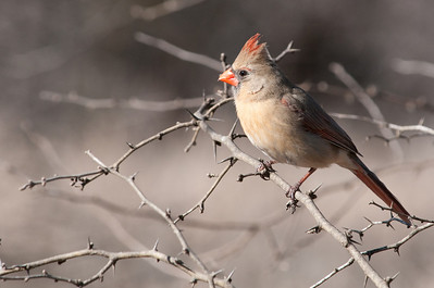 0901_Cardinals_008