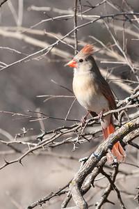 0901_Cardinals_031