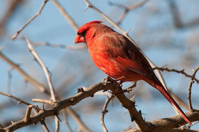 0901_Cardinals_016