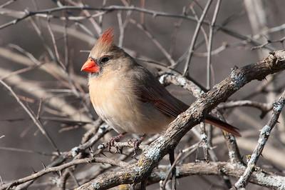 0901_Cardinals_019
