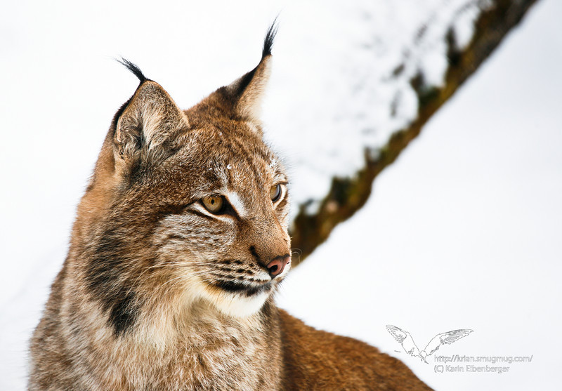 A lynx in the Cumberland preservation park.