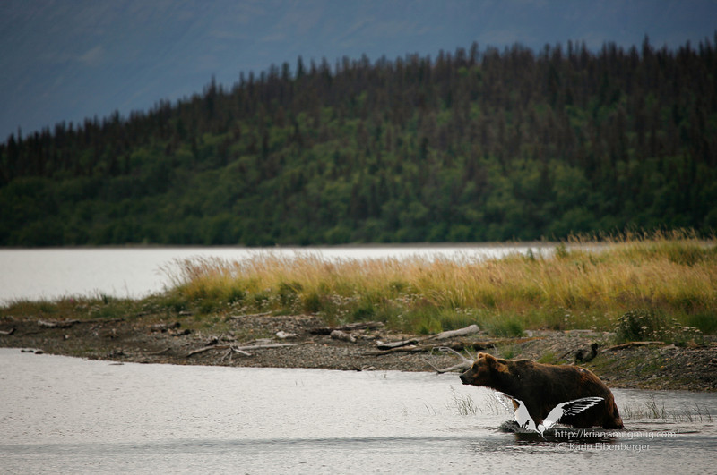 August 2011. Brown bear in Naknek Lake, near Brooks Camp. There must be a salmon somewhere.