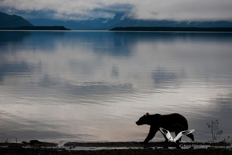 August 2011. A brown bear walking along the beach just next to our campground. Thankfully there was so much mud, water and bush at the campground that the bears preferred the open beach to walk along.