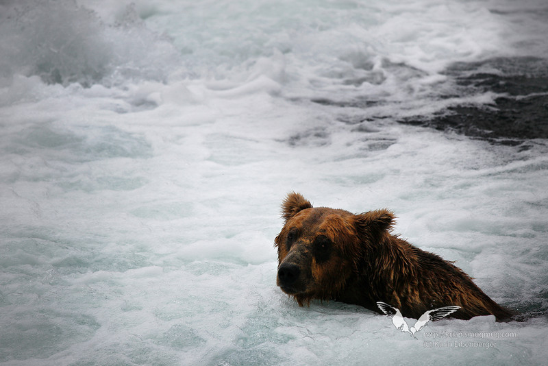 August 2011. A bear at Brooks Falls, trying to catch one of the spawning salmons. But sometimes they seemed to relax a bit in the pool and enjoy the sparkling water.