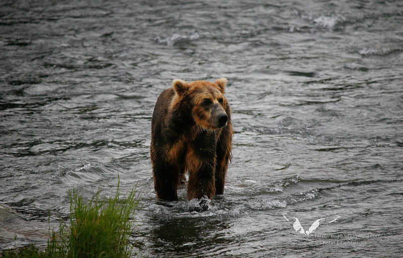 August 2011. A bear at Naknek River, again trying to catch a salmon.