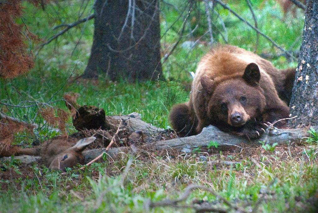 Dinner at Dusk: Elk Calf and Black Bear