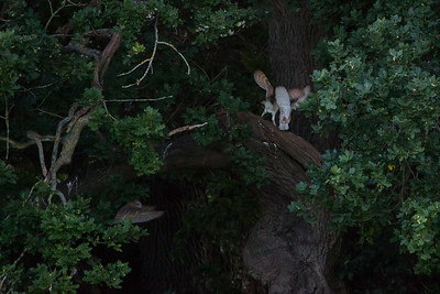 Three Barn Owls 160817 Home