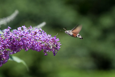 Hummingbird Moth B 020717 Home