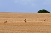 A bad hare day, seen in a field between Docking and Fring in NW Norfolk as I cycled to Snettisham for…