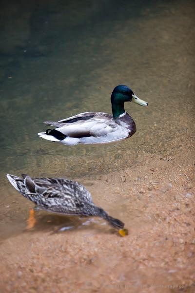Ducks at Seven Falls in Colorado Springs, CO