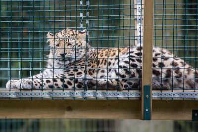 Amur Leopard Cub 300518 Thrigby Hall