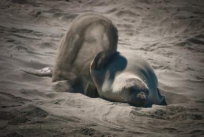 Elephant Seal 1