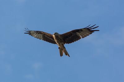 Red Kite B 070717