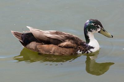 Unknown Duck 310517 RSPB Snettisham