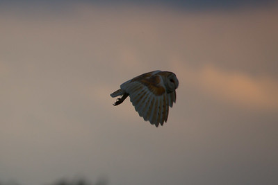 Barn Owl A 090717 Home