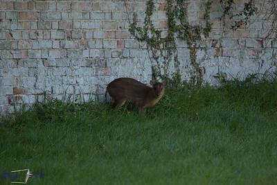 Muntjac Deer 110419 Home