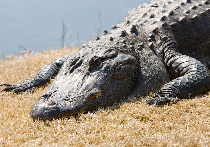A gator sunbathing in Myrtle Beach, SC