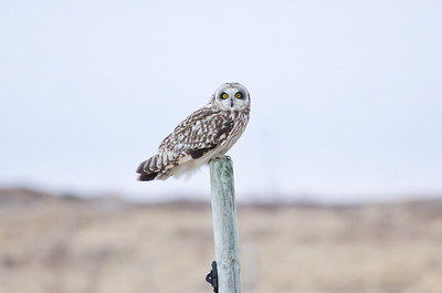 Short Eared Owl.  Langoya, Norway.