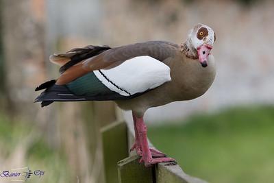 Egyptian Goose A 110416