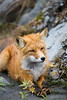 Red Fox wandering around in Hatchers Pass