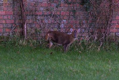 Muntjac Deer 040216 Home