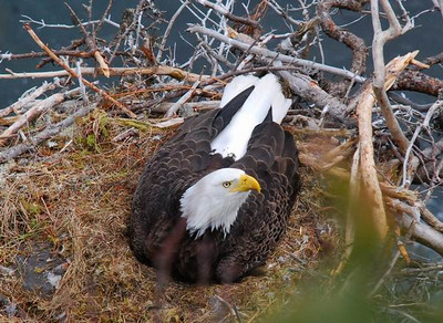 Bald Eagle, nest.