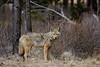 Coyote at Caldera