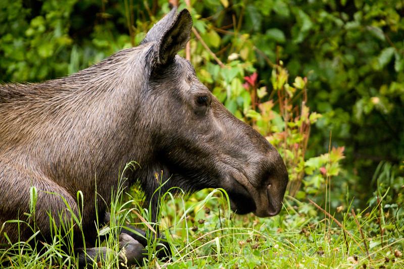 Mother moose alert