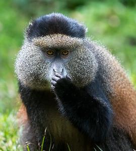 Portrait of golden monkey
