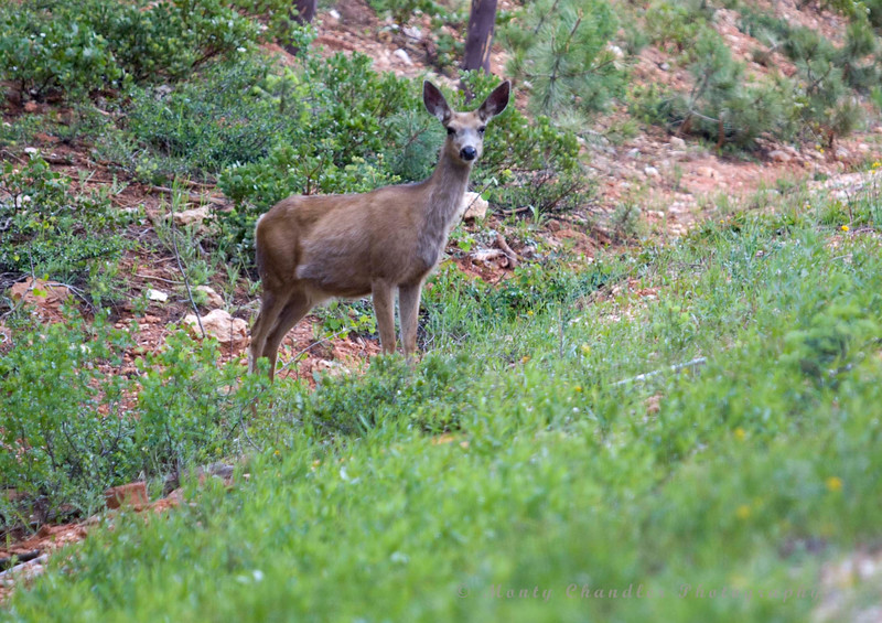 A Mule Deer takes a look at me at the click of my camera - Bryce Canyon National Park