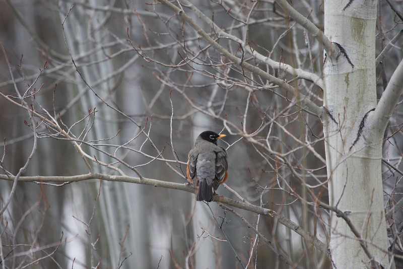 Robin in Aspen