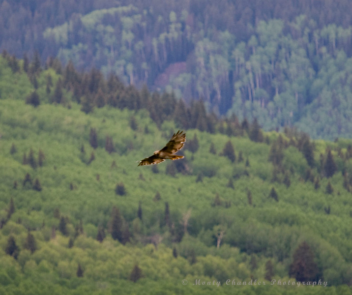 A pair of Falcons hunt and play in the skies above the Rocky Mountains in Colorado