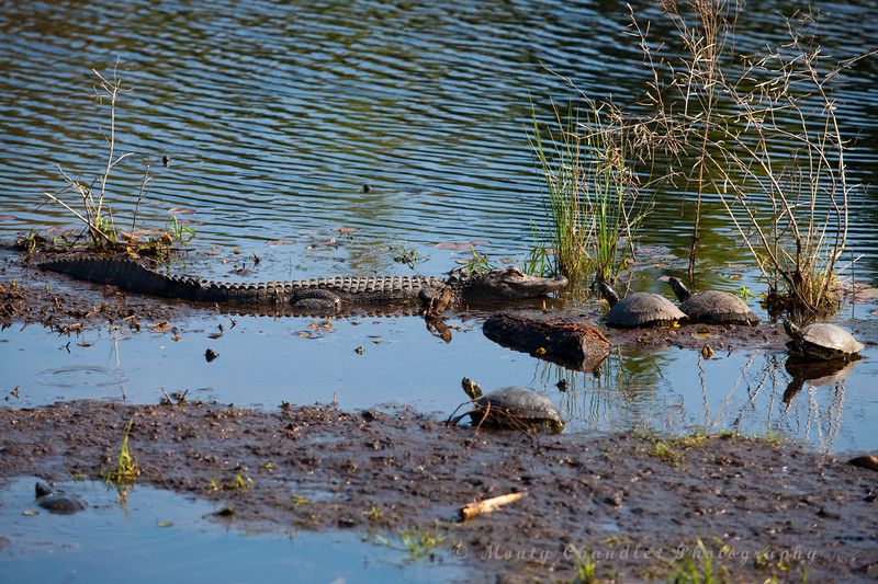 An alligator takes in some sun neara pond on the Moorland course at the Legends golf complex in Myrtle Beach, sc during the 2011 Maseratti