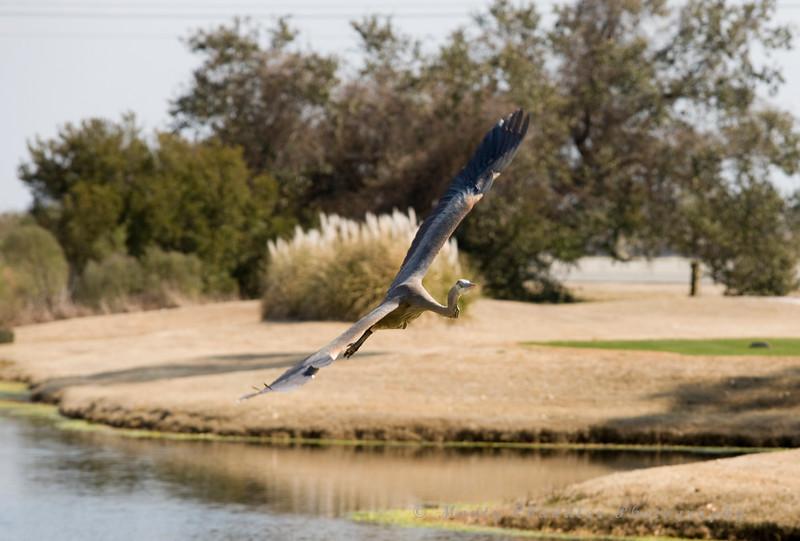 Blue Heron in Myrtle Beach, SC