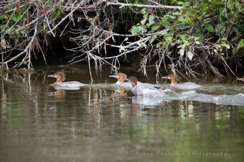 Ducks on the Little Susitna River