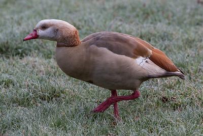 Egyptian Goose 190116