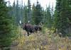 Moose in B.C.
