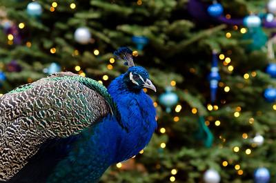 Christmas peacock.
