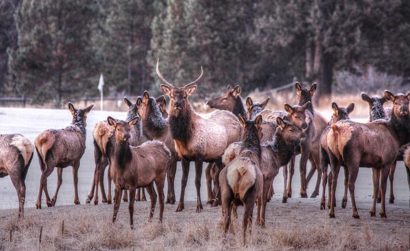 Crosswater elk on #4